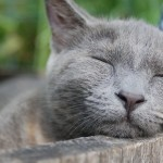 Grey cat without sleep deprivation or anxiety problems
